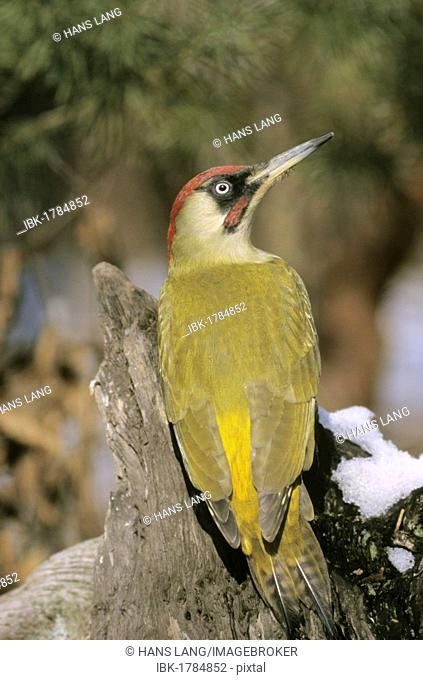Green Woodpecker (Picus viridis), male