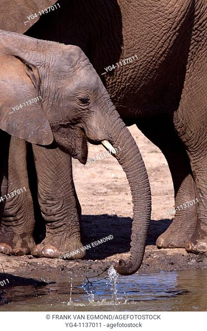 African Elephant Loxodonta Africana  Calf drinking at a waterhole  June 2009, winter  Balule Private Nature Reserve, York section  Greater Kruger National Park