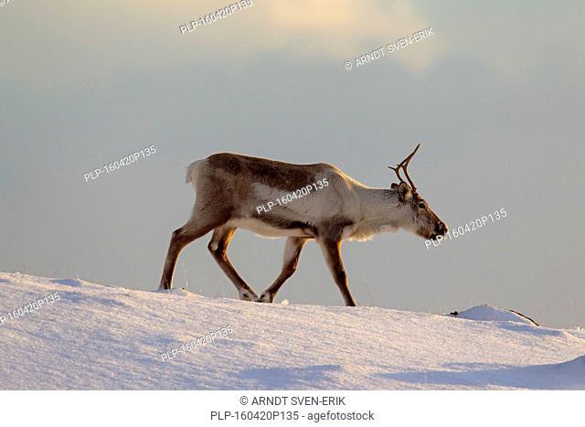 Reindeer (Rangifer tarandus) foraging in snow covered winter landscape, Iceland