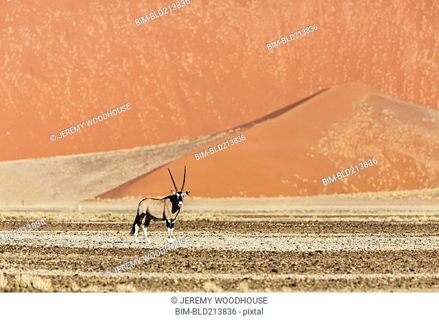 Oryx standing near sand dunes in desert
