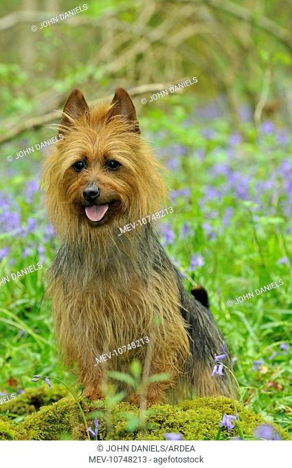 Dog. Australian Terrier in bluebells