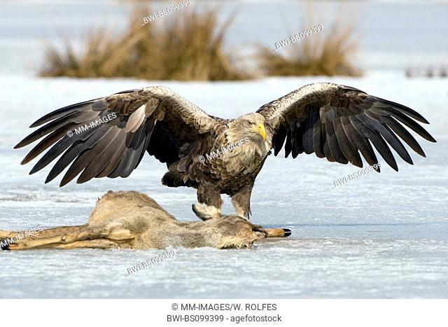 white-tailed sea eagle (Haliaeetus albicilla), at carcass of a roe deer in winter, Germany, Mecklenburg-Western Pomerania, Feldberger Seelandschaft