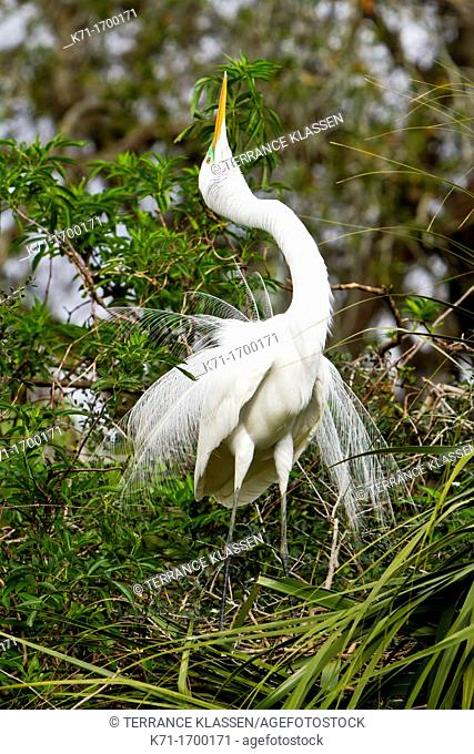 A great white egret in a sky pointing courting ritual at the Alligator Farm rookery in St  Augustine, Florida, USA