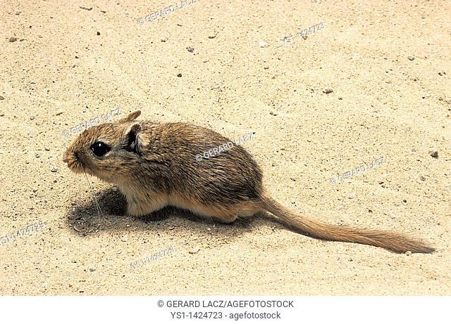 NORTH AFRICAN GERBIL gerbillus campestris, ADULT IN SAND