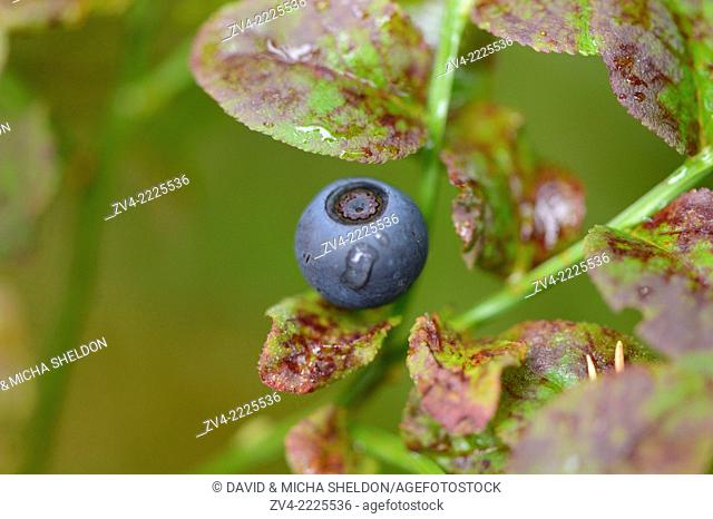 Close-up of European blueberry (Vaccinium myrtillus) fruits in a forest on a rainy day in spring