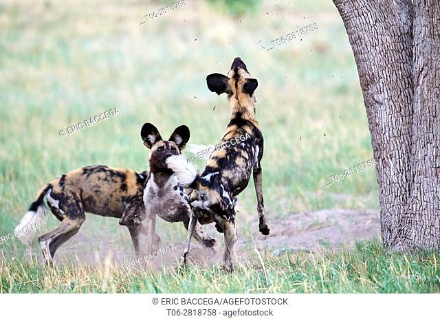 African wild dogs (Lycaon pictus) pursuing a leopard (Panthera pardus) which climbs on a tree to take refuge. Hwange National Park, Zimbabwe