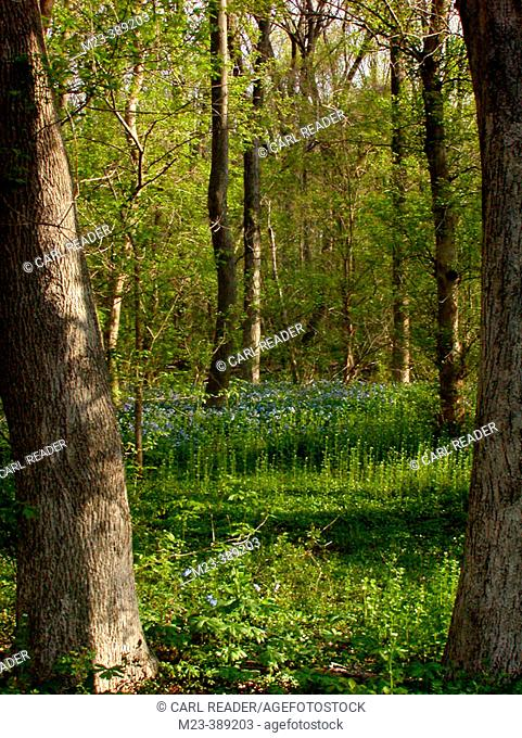 A Pennsylvania woodland in spring grows Virginia bluebells on the forest floor