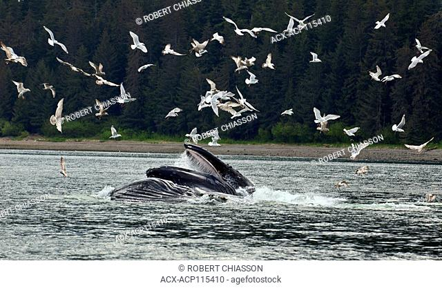 Humpback whales surfacing with mouths wide open to capture herring that they 'corralled' earlier by exhaling a curtain of air bubbles beneath the fish