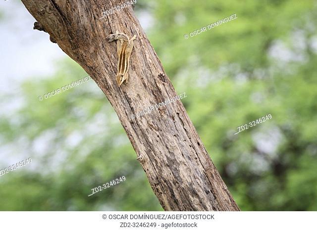 Five-striped Palm Squirrel (Funambulus pennantii) climbing down tree. Keoladeo National Park. Bharatpur. Rajasthan. India