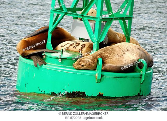 Steller sea lions (Eumetopias jubatus) lying on a light buoy, Prince William Sound, Alaska, USA, North America