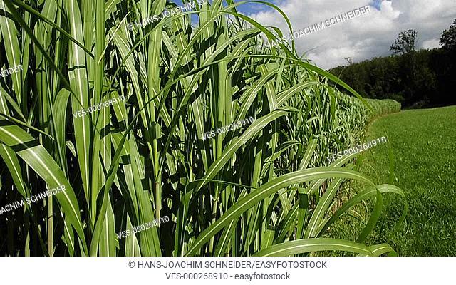 switch grass, renewable source, field in Germany