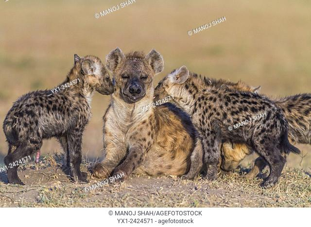 Cubs greeting hyena adult. Masai Mara National Reserve, Kenya