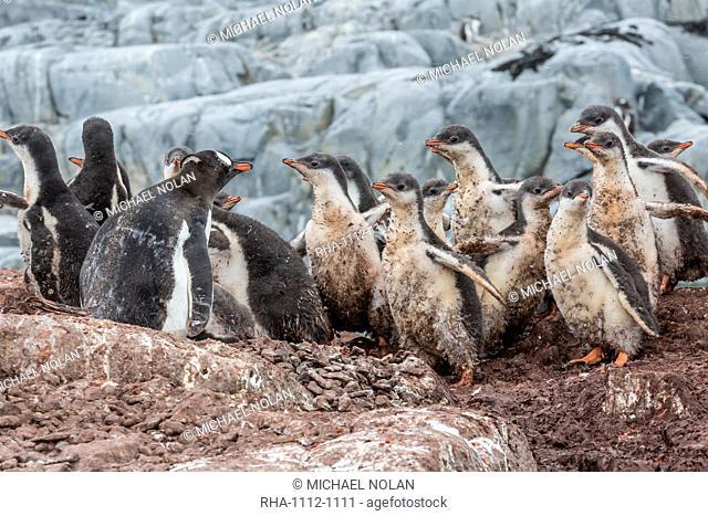 Gentoo penguin (Pygoscelis papua) chicks creche, Jougla Point, Wiencke Island, Antarctica, Southern Ocean, Polar Regions, Polar Regions
