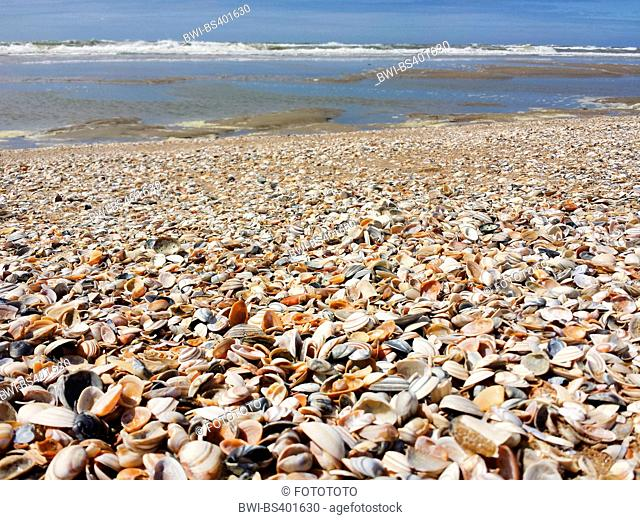 seashells washed up by the North Sea, Netherlands, Nordwijk