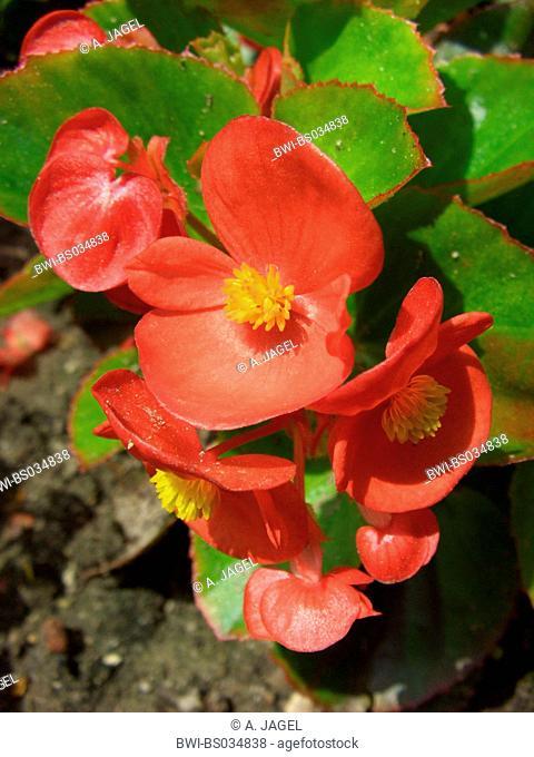 Bedding Begonia, Fibrous Rooted Begonia (Begonia semperflorens, Begonia cucullata var. hookeri), flowers