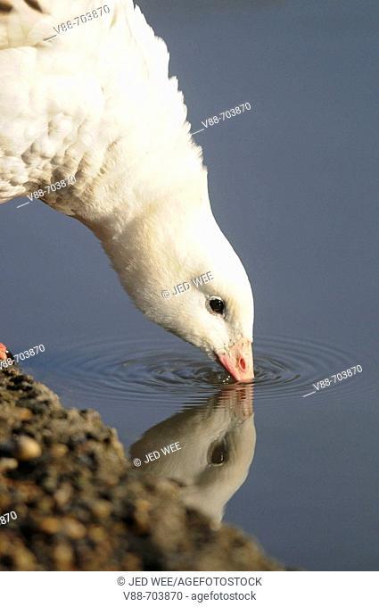 Andean Goose (Chloephaga melanoptera) drinking, Washington Wildfowl and Wetlands Trust, Tyne and Wear, England