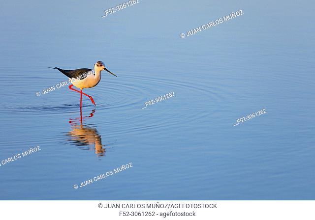 Black-winged stilt (Himantopus himantopus), L'Alfacada Lake, The Ebre Delta Natural Park, Terres de l'Ebre, Tarragona, Catalonia, Spain