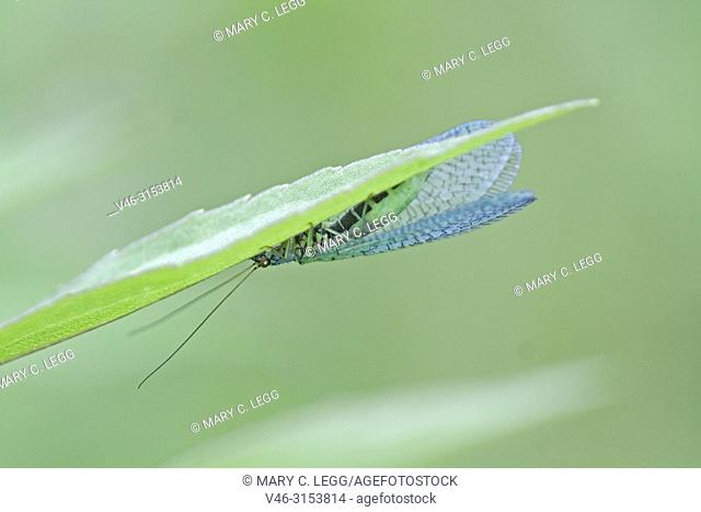 Green Lacewing, Chrysopa perla, lacewing of 10-12 mm. Red eyes and distingsuishing black stripe on abdomen. Commonly found in cool shady areas