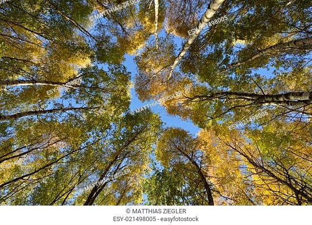 Birkenwäldchen im Herbst