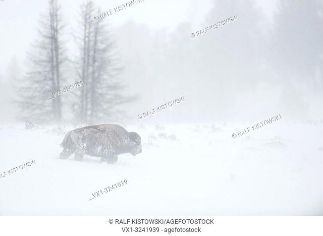American bison ( Bison bison ) in a blizzard, single adult, walking through blowing snow, Yellowstone National Park, Wyoming, USA.