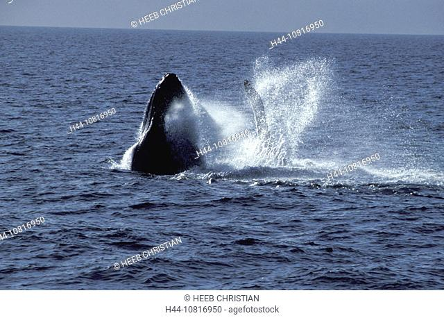 hump whale, sea, Maui, Hawaii, USA, United States, America, America, North America, animals, animal, whale
