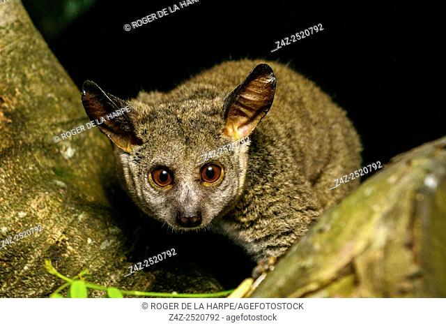 Thick-tailed greater galago, Garnett's greater galago, greater bushbaby, greater galago, large-eared greater galago or thick-tailed bushbaby (Otolemur...