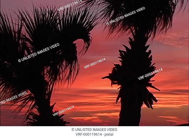Palmetto palms orange dawn