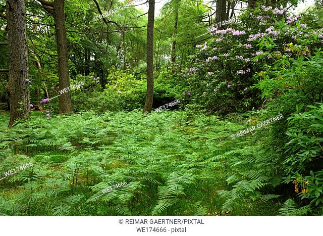 Woodland trees of Benmore Estate at Knock with bracken fern and invasive Rhododendron Ponticum on Isle of Mull Inner Hebrides Scotland UK
