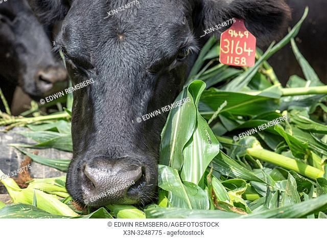 Close-up of angus cow eating whole husk of corn, Valley Lee, Maryland