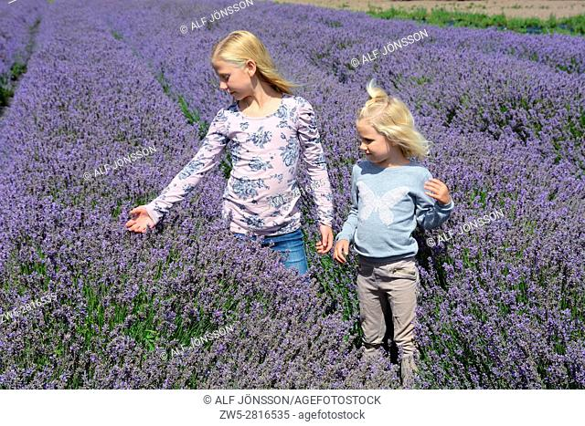 Two blond girls, five and ten years old, in a lavender field in Scania, Sweden