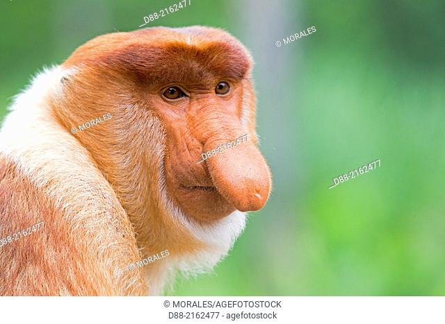 Asia,Borneo,Malaysia,Sabah,Labuk Bay,Proboscis monkey or long-nosed monkey (Nasalis larvatus,)male the chief