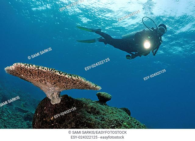 Scuba Diver shining torch on Table Coral (Acropora), Island of Borneo, Sipadan Island, Malaysia