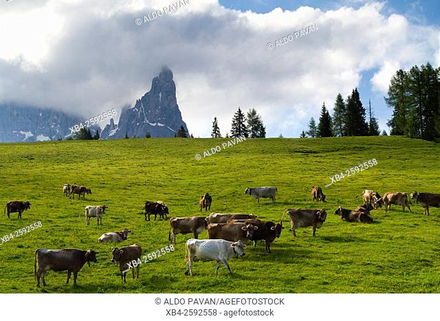 Cows grazing, Rolle Pass, Siror, Italy