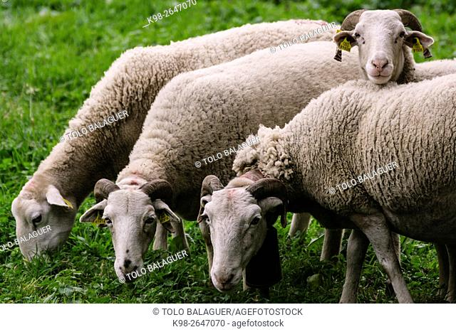 Spain, Pyrenees Mountains, Catalonia, Ribagorza region, Lleida province, Aran Valley, Bausen, Four Aranese sheep grazing
