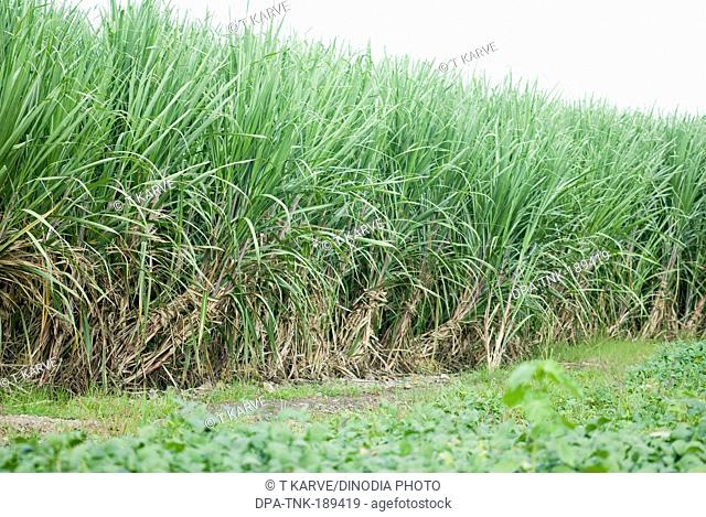 Sugarcane crops farm Salunkwadi Beed Maharashtra India Asia