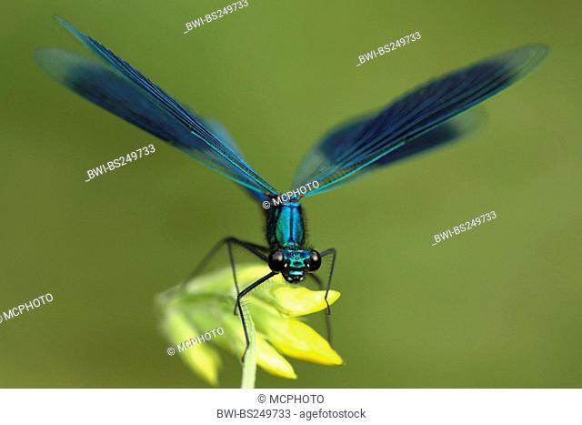 banded blackwings, banded agrion, banded demoiselle Calopteryx splendens, Agrion splendens, sitting on a flower, Germany, North Rhine-Westphalia