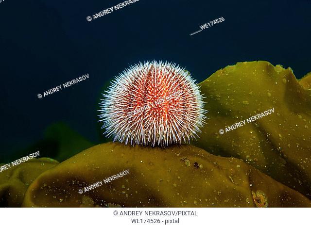 European edible sea urchin or common sea urchin (Echinus esculentus) sits on the Laminaria. Northern Atlantic, Norway, Europe