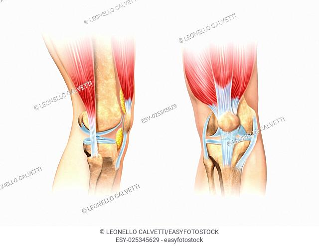 Human knee cutaway illustration. Side and front views detailed, scientifically correct cross section representation. On white background