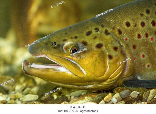brown trout, river trout, brook trout (Salmo trutta fario), male, portrait, Germany, Bavaria