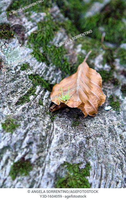 Gresshopper on a dried leaf
