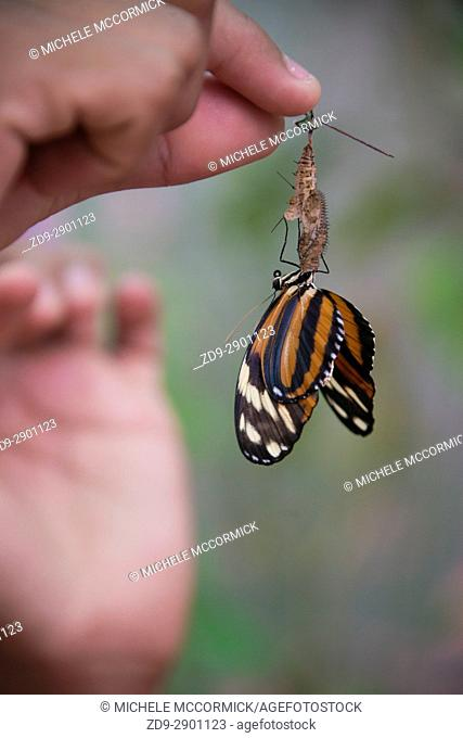 A butterfly emerges from its cocoon at Gumbalima park