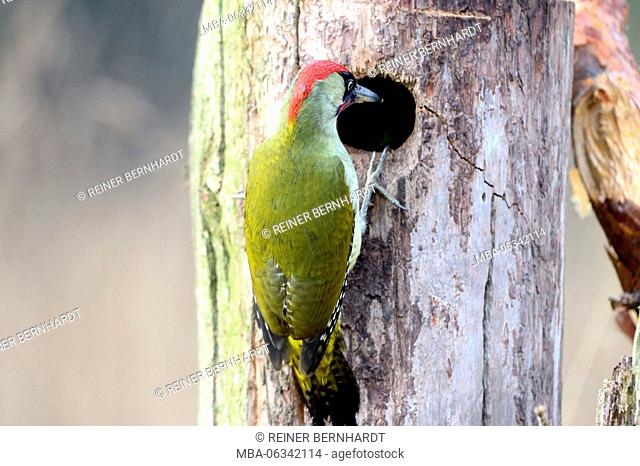 Green woodpecker in tree hole