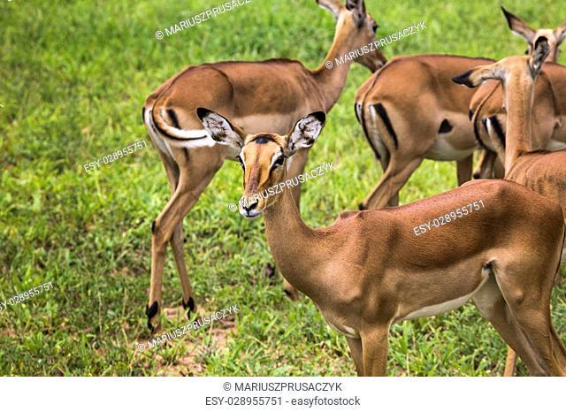 Female impala antelopes in Maasai Mara National Reserve, Kenya
