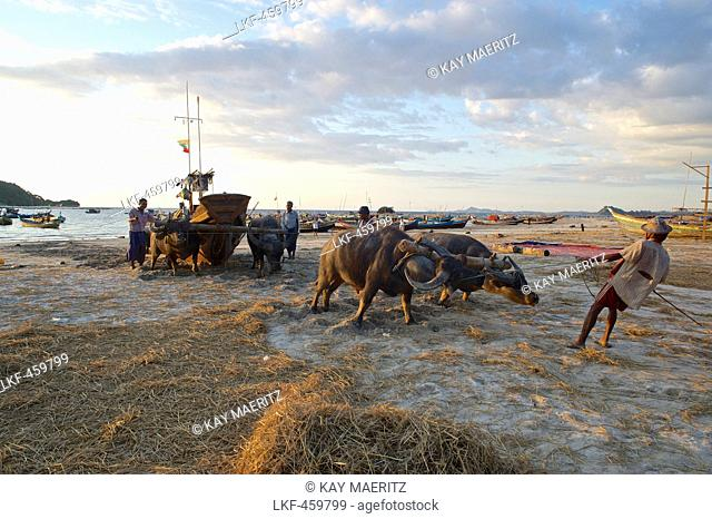 Water buffalos pulling a boat onto the beach, Ngapali, most famous beach resort in Burma at the Bay of Bengal, Rakhaing State, Arakan, Myanmar, Burma