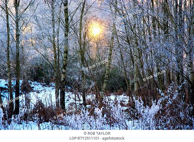 England, Surrey, Coldharbour. A watery sun illuminating silver birch trees in snow near Coldharbour