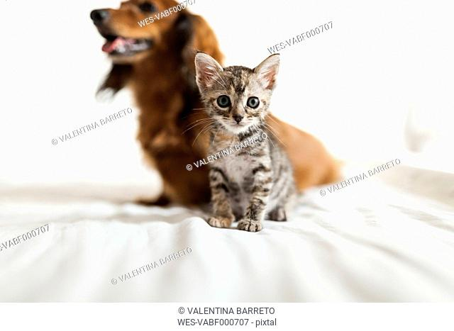 Portrait of tabby kitten sitting on bed with long-haired dachshund in the background