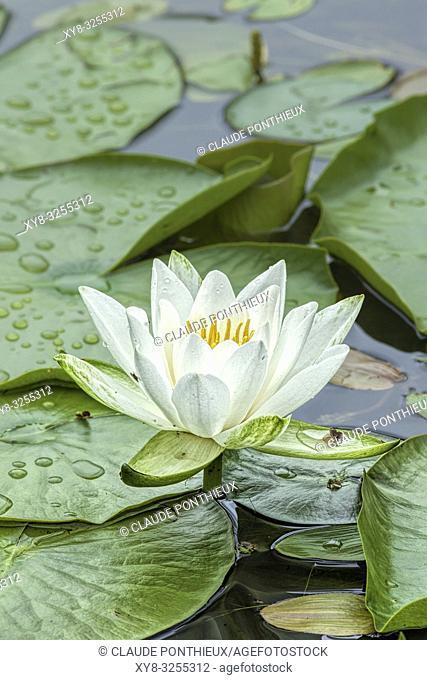 Fragrant water-lily; Nymphaea odorata, Quebec, Canada