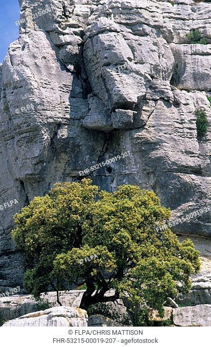 Holm Oak Quercus ilex growing between rocks, El Torcal, Andalucia, Spain
