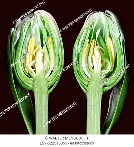Beide Hälften einer längs geschnittenen Tulpe