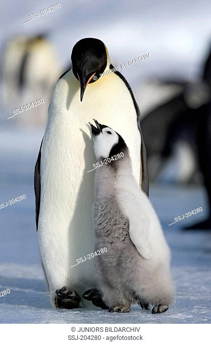 Emperor Penguin (Aptenodytes forsteri). Adult with begging chick. Snow Hill Island, Antarctica
